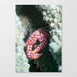 Porcelain crab emerging into the light Canvas Print