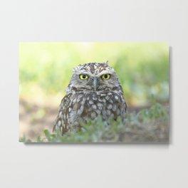 Burrowing owl (Athene cunicularia) Metal Print