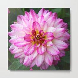 Pink and White Dahlia Metal Print
