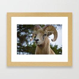 Big Horn Sheep in Jasper National Park Framed Art Print