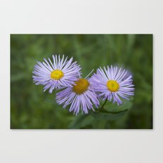 Colorado Asters Canvas Print