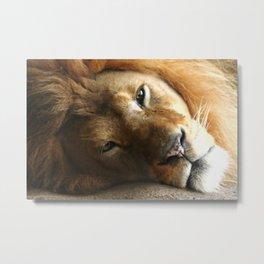 Lion Around Metal Print