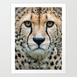 CHEETAH INTENSE Art Print