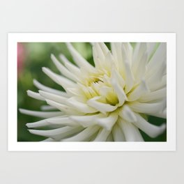 White Dahlia Bloom from Butchart Gardens Art Print