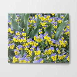 Yellow and Purple Pansies Metal Print
