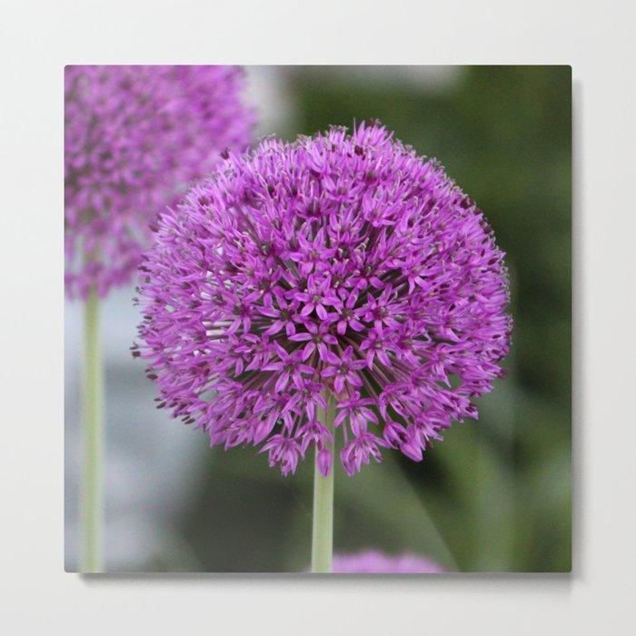 Giant Allium Metal Print