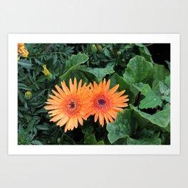 A Pair of Orange Gerber Daisies Art Print