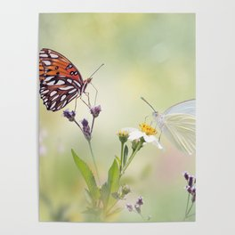Gulf Fritillary and Great Southern White butterflies in a meadow Poster