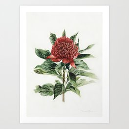 Waratah Flower Art Print
