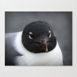 Laughing gull Canvas Print