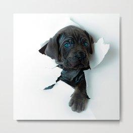 Neapolitan Mastiff black dog  Tearing Through Metal Print