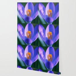 Crocus flowers Wallpaper