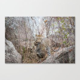 Mother Leopard carrying baby cub Canvas Print