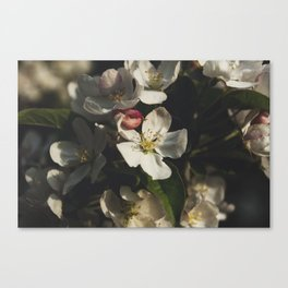 Moody crabapple blossoms Canvas Print