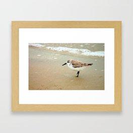 Lone Sanderling Framed Art Print
