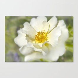 A white bloom. Canvas Print