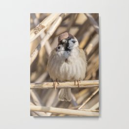 Tree Sparrow on branch (Passer montanus) Close Up Metal Print