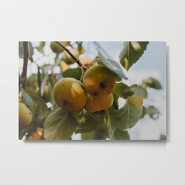 Green Apples on a Tree Metal Print
