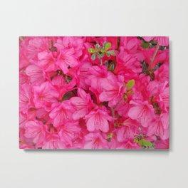 Pink Azalea Blooms Metal Print