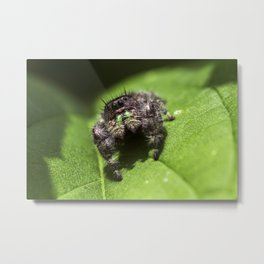 Female Jumping Spider Macro Metal Print