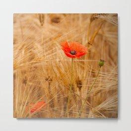 Beautiful poppy in a field - Poppies Summer Metal Print