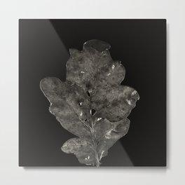 Project 'Decay'. Oak leaf (Quercus robur) Metal Print