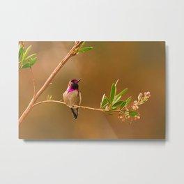 Anna's Hummigbird Metal Print