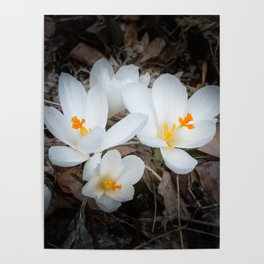 Four beautiful crocuses in the woods with blurred natural background Poster