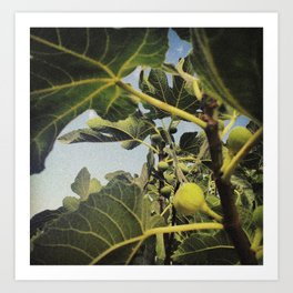the smell of the fig tree Art Print