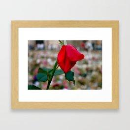 La Dernière Rose Framed Art Print
