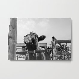Silly Cow Metal Print