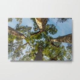 Giant Tingle Trees, Denmark, Western Australia Metal Print