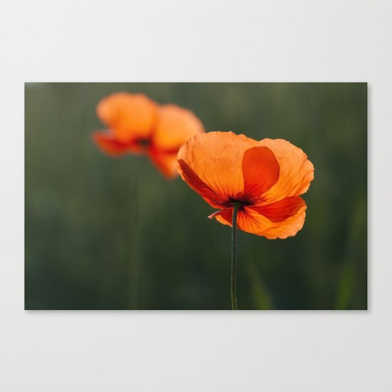 Poppies secretly in love Canvas Print