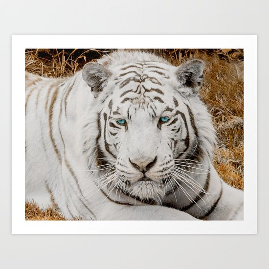 WHITE TIGER GAZE Art Print