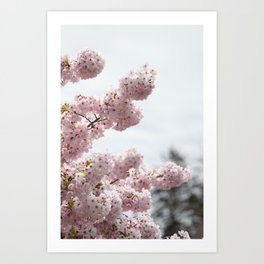 Cherry Blossoms 1 Art Print