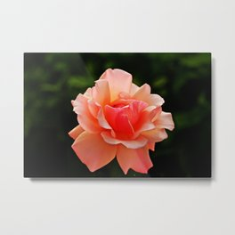 Pink Rose Blooming Metal Print