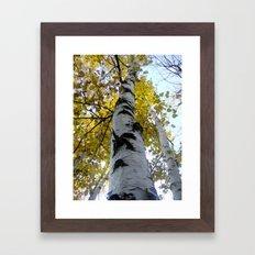 northern ontario birch part 1 Framed Art Print