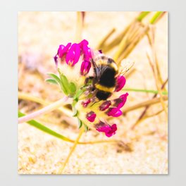 bumble been on a dune flower Canvas Print