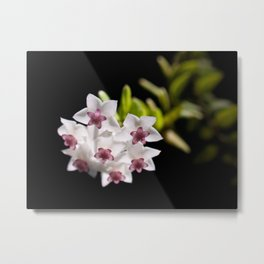 Little stars hoya Metal Print