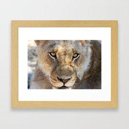 Young Lion Framed Art Print