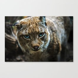 Blue eyed Lynx Canvas Print