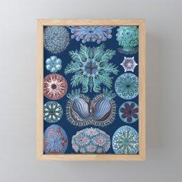 Ernst Haeckel Ascidiae Sea Squirts Framed Mini Art Print