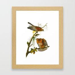 Red-shouldered Hawk Framed Art Print