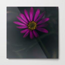 Brachyscome AKA Purple Daisy Metal Print
