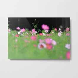 Pink Cosmos Field in Sunshine Photography Metal Print