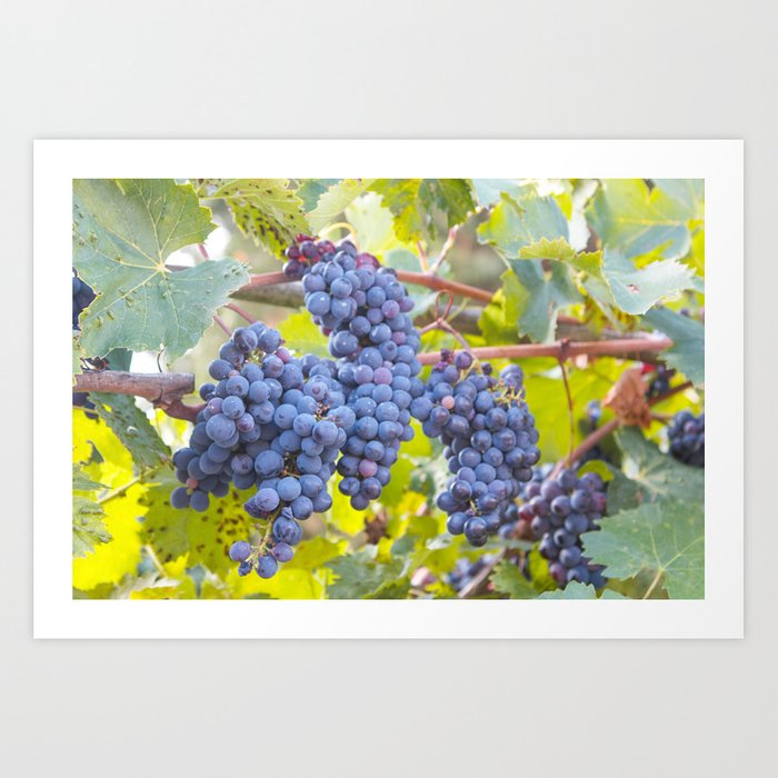 Grapes in Tuscany Art Print