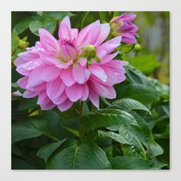 Fresh Rain Drops - Pink Dahlia Two Canvas Print