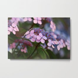 Blooming Rose Blue and Red Hydrangea Hortensia Flowers Metal Print