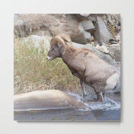 Watercolor Sheep, Bighorn Ram 39, Drake, Colorado Metal Print
