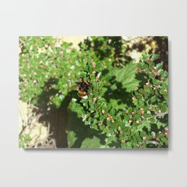 Bumble Bee on Cotoneaster  Metal Print